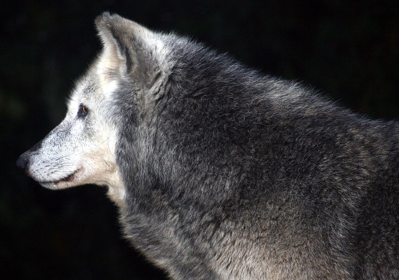 Totem profile gray wolf biocorpaavc