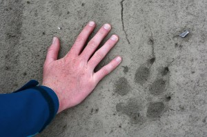 http://commons.wikimedia.org/wiki/Category:Wolf_tracks#mediaviewer/File:Wolf_print_on_the_Anaktuvuk_River._North_Slope,_Alaska.jpg