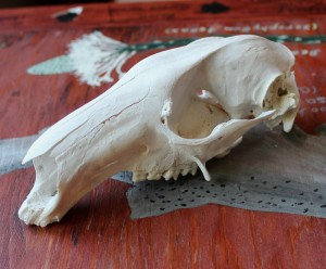 Red kangaroo skull
