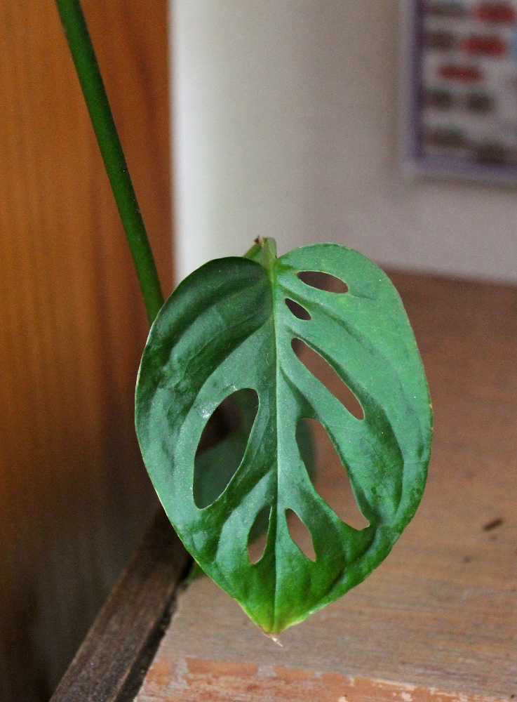 Monstera Obliqua/Swiss Cheese Vine as Plant Totem | The Green Wolf