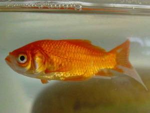 Peixe010eue