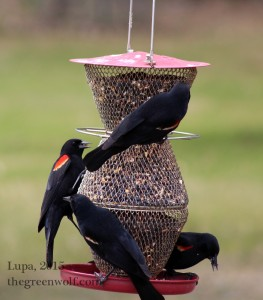 There were also dozens of red-winged blackbirds in attendance, including these feasting males.