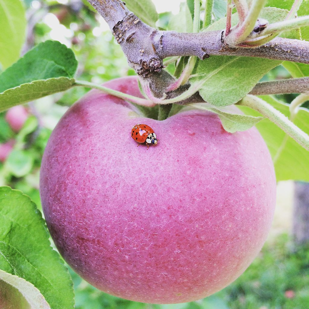 Apple_with_Ladybug